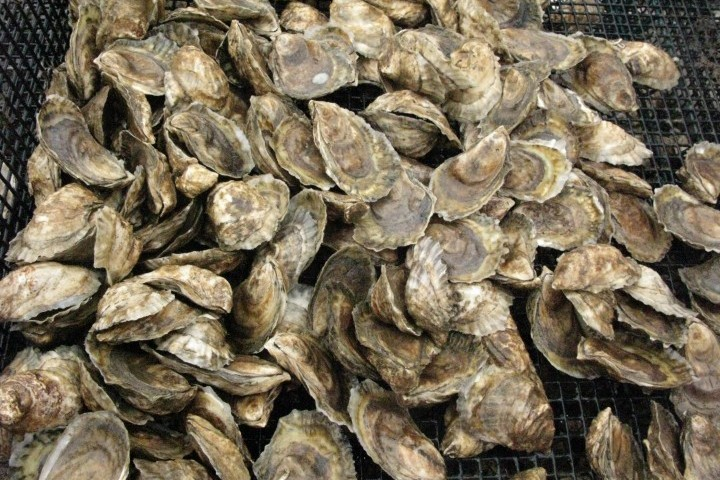 Is_New_Hampshire_Oyster_Farming_Poised_to_Surge.JPG