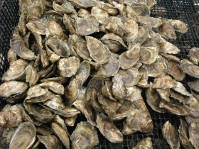 This is a photo of Is_New_Hampshire_Oyster_Farming_Poised_to_Surge